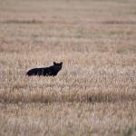 Пшеница для кошек — причина аллергии