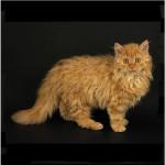 Ла Перм кошка