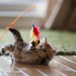 Почему кошки играют