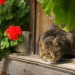 Герань опасна для кошек