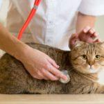 Эритроцитоз у кошек