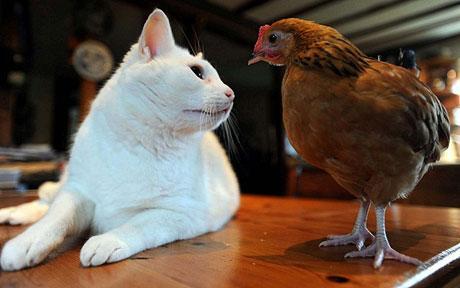 Аллергия на куриный белок у кошек