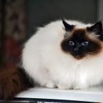 Бирманская священная кошка