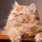 У кошки полузакрытые глаза