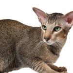 Уход за ориентальной кошкой