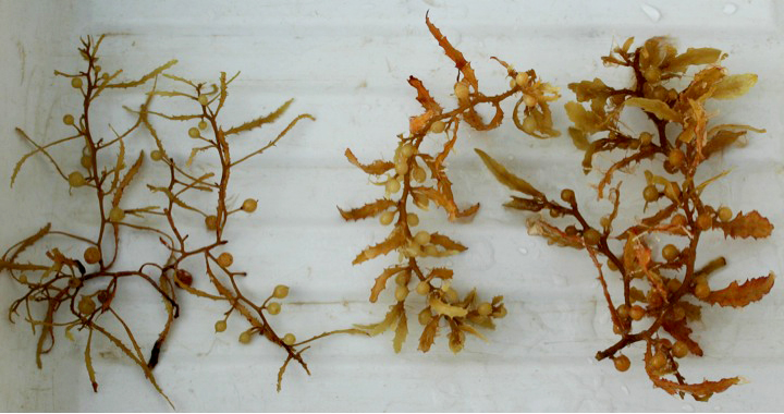 effectiveness of sargassum polycystum extract on Evaluation of antimicrobial activity of crude extracts of seaweed sargassum johnstonii results indicated high inhibition of the methanol + ethyl acetate extract.