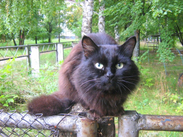 Русская черная кошка