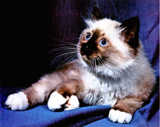 Кошки породы бирманская священная