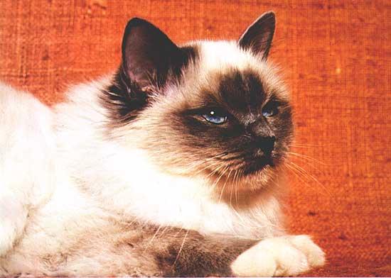 Кот бирманской священной породы