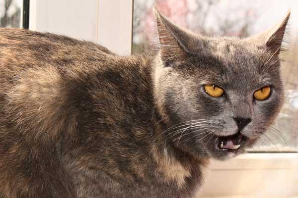 Лечение гингивита у кошек народными средствами