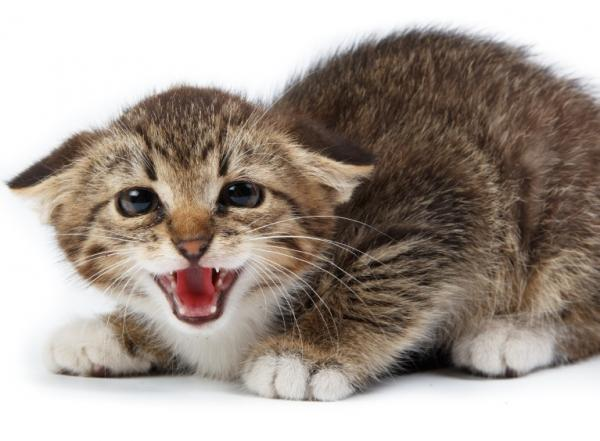 Борная кислота для кошек