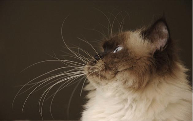 Есть ли брови у кота