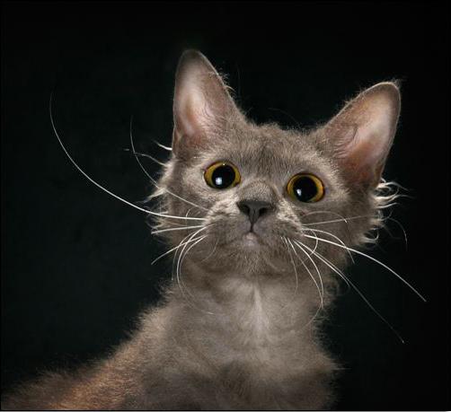 кошка породы ла перм