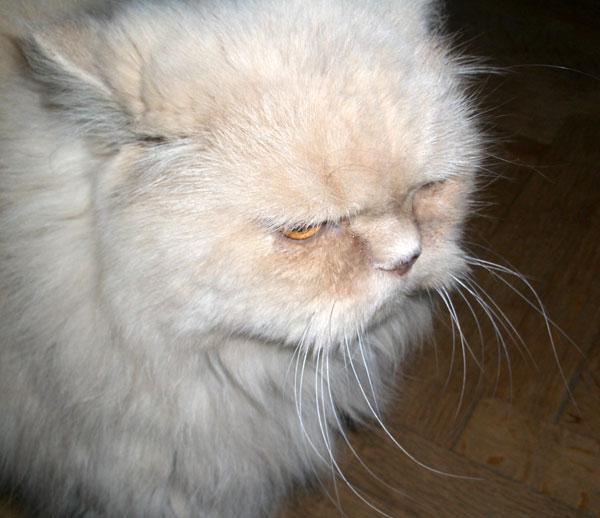 Кот преклонного возраста