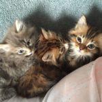 Полуперс или полуперсидская кошка