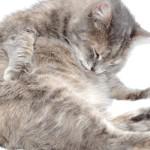 Кошка не может вылизать себя при ожирении